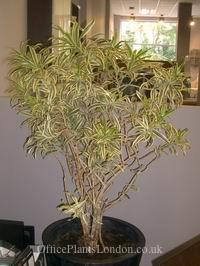 Dracaena reflexa, also known as Pleomele